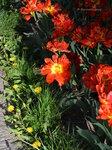 Тюльпаны посланы Всевышним…