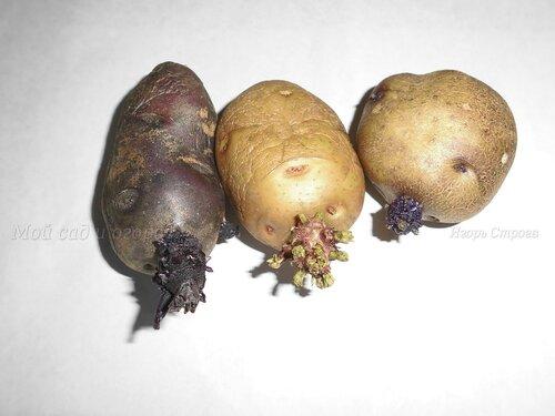яровизация картофеля.