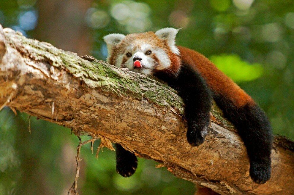 krasnaya-panda-8.jpg