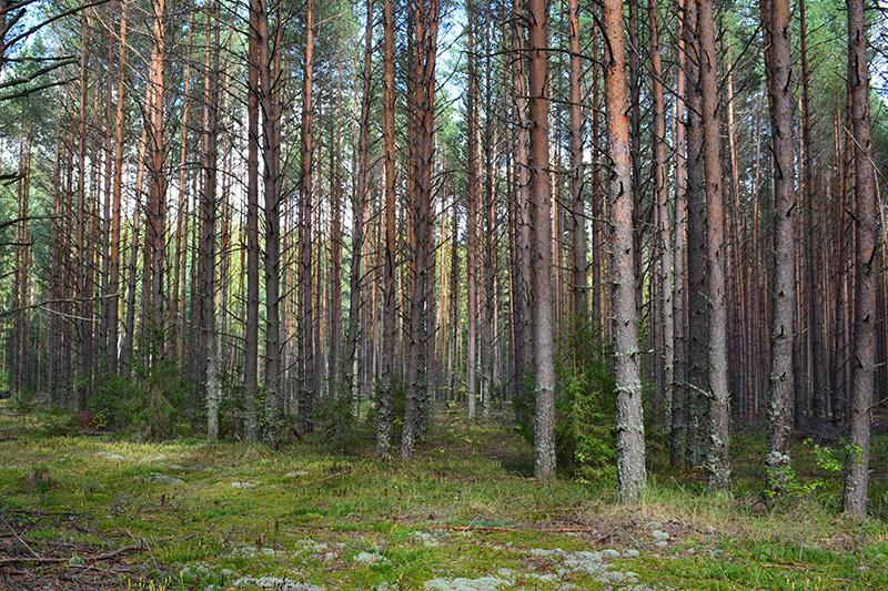 мой солнечный лес 2.jpg