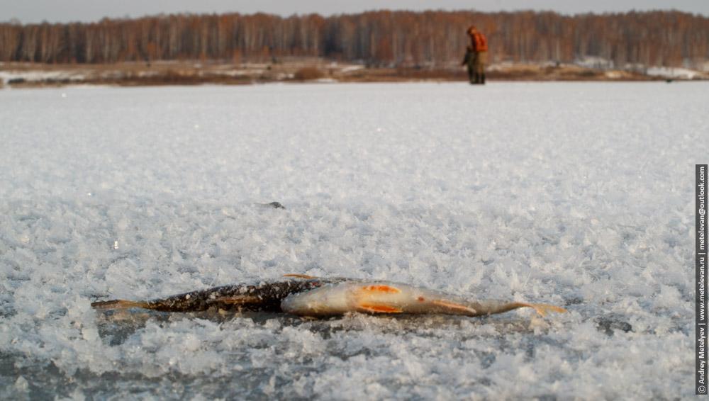 улов на озере Боевка в ноябре