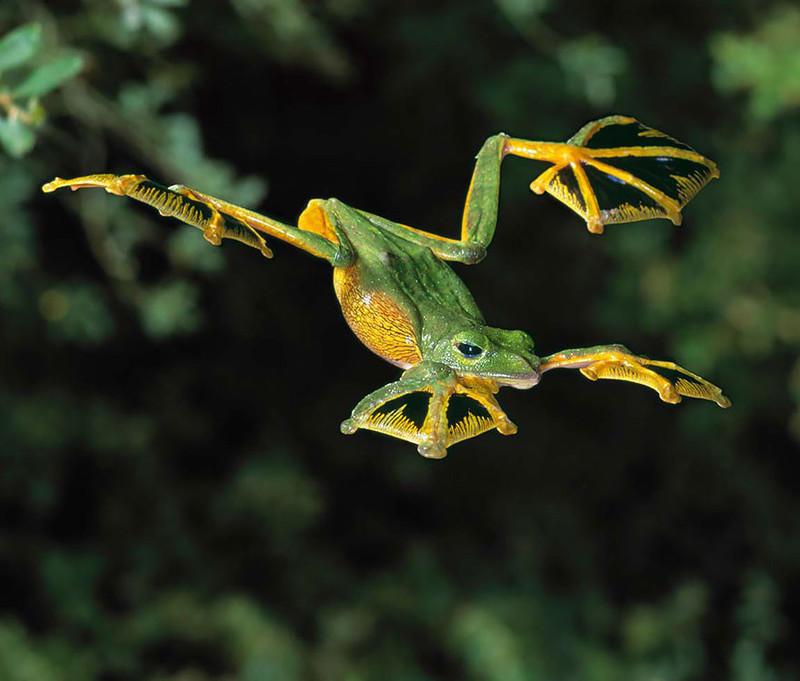 5. Веслоногая лягушка