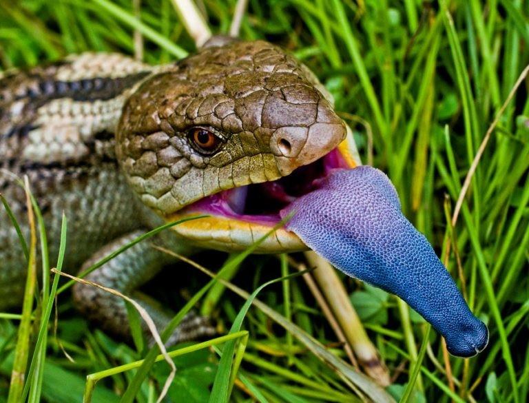 Большинство ящериц способны , в случае опасности, отбрасывать хвост (автотомия). Сокращая хрящевые м