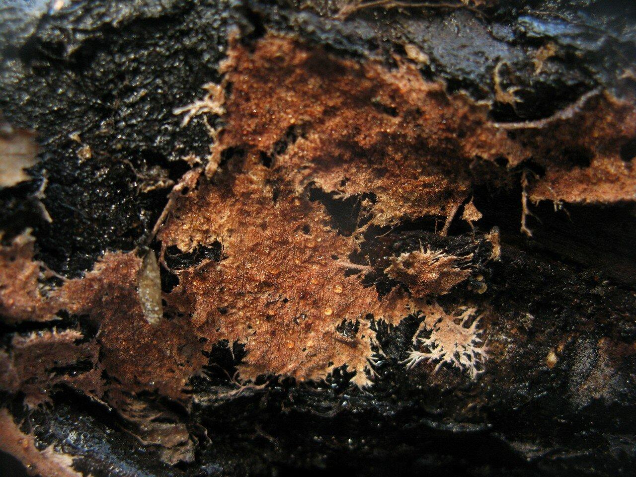 Стекхеринум бахромчатый (Steccherinum fimbriatum) Автор фото: Станислав Кривошеев