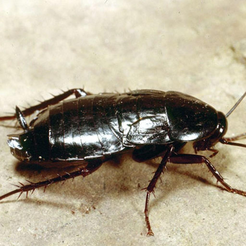 Ученые поведали обособой миссии тараканов наЗемле