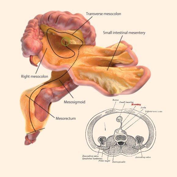 Ученые отыскали новый орган в человеческом теле