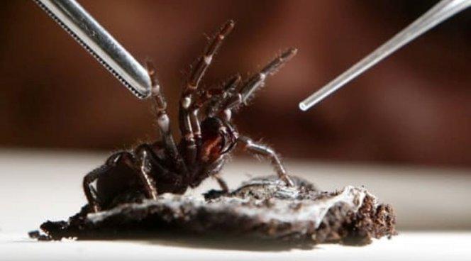 Ученые отыскали спасение отинсульта вяде паука-убийцы
