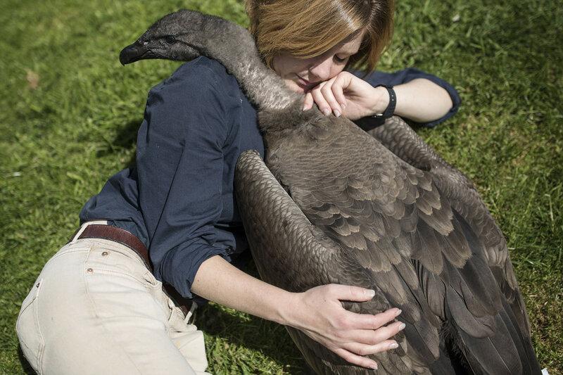 Холли Кейл — сотрудница Международного центра хищных птиц (ICBP) — и Моккас — годовалый андский кондор, самая крупная хищная птица на земле — в Ньюенте, Англия, 16 мая 2016 года. Такой тесный контакт с кондорами — весьма редкое и небезопасное явление из-за их размера и мощного клюва, но Холли была с Моккасом почти каждый день после того, как он вылупился из яйца, и смогла установить с ним доверительный контакт. (Dan Kitwood / Getty)