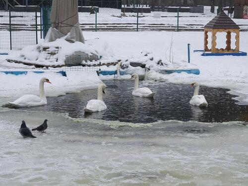 Лебеди в водоёме зимой