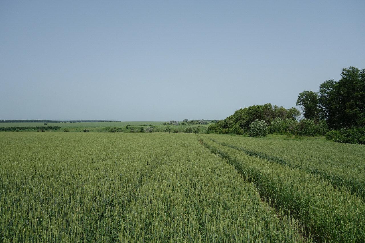 поле пшеницы в долине р. Неручь