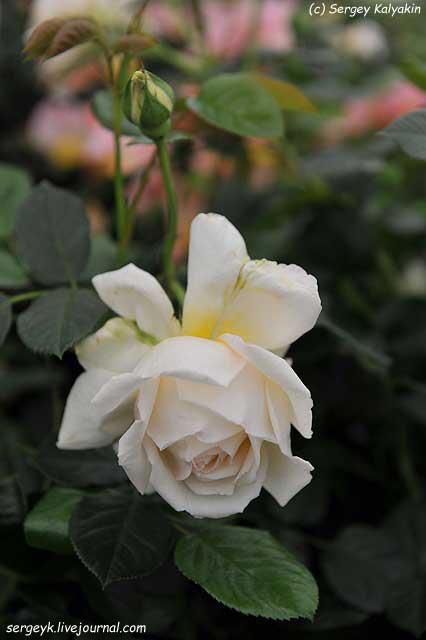 Rosa Deben Sunrise (2).JPG