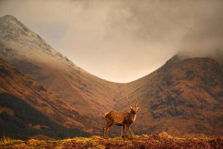 Благородные олени из Шотландии (7 фото)
