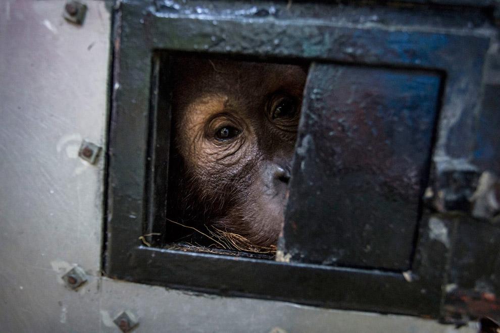 15. На Суматре осталось всего 14 000 орангутангов. Причины исчезновения вида— брако