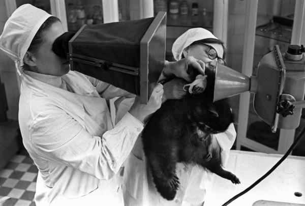 Енот во время медицинского осмотра, 1970 год. Фото: А. Лобов / РИА Новости.