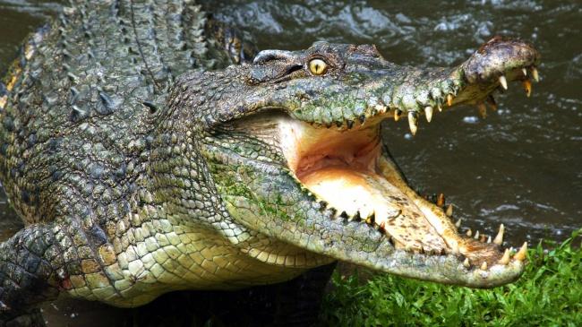 © National Geographic  Крокодилы построению близки кдинозаврам ижили еще вЮрском периоде (