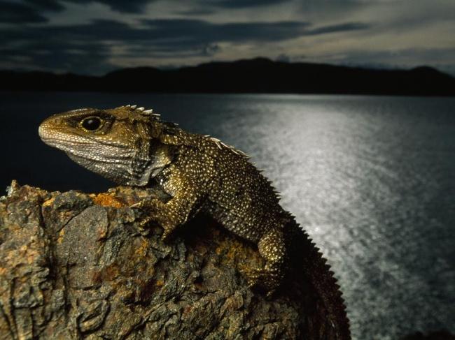 © National Geographic  Гаттерия, или туатара,— самая древняя рептилия наЗемле. Гаттерия помо