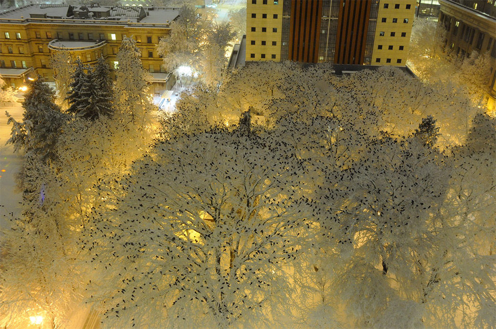 Thousands of Birds Photographed Atop Snow-Laden Trees in Downtown Portland, Oregon (2 pics)