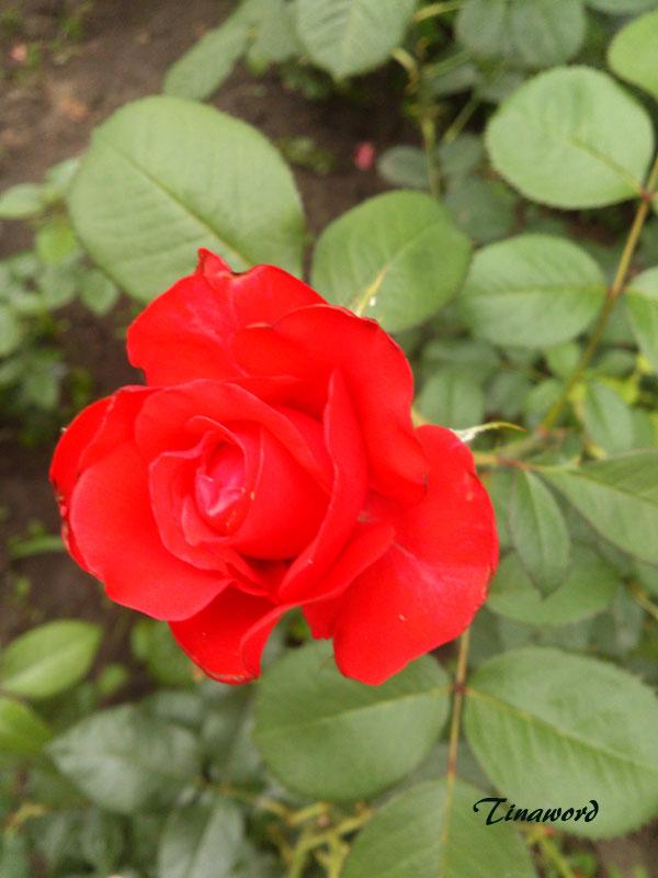 розы-05.jpg