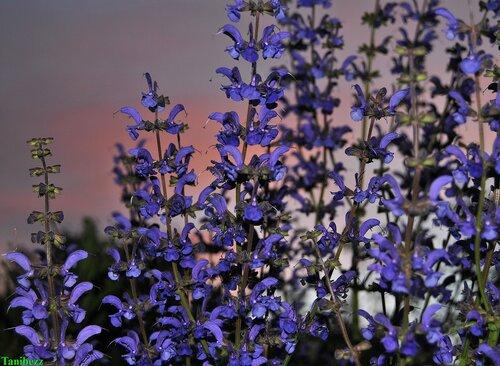 Шалфей (сальвия) мускатный / Salvia sclarea