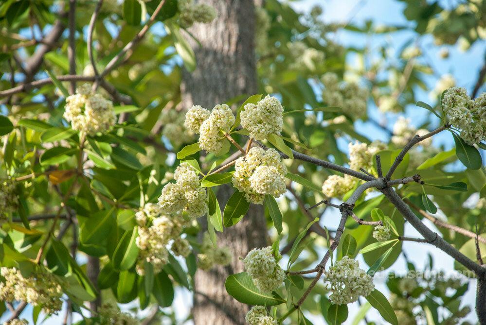 Дерево с белыми цветами дита