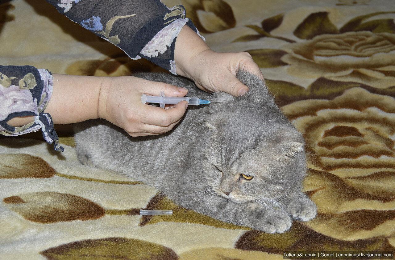 Что будет если сделать укол с воздухом в мышцу кошке