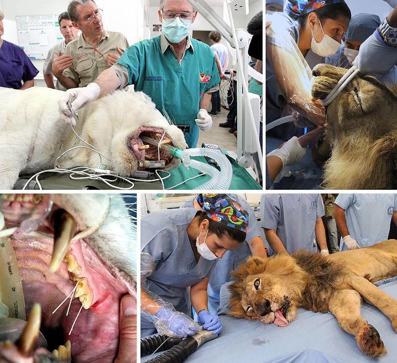 Царь зверей у стоматолога (15 фото)