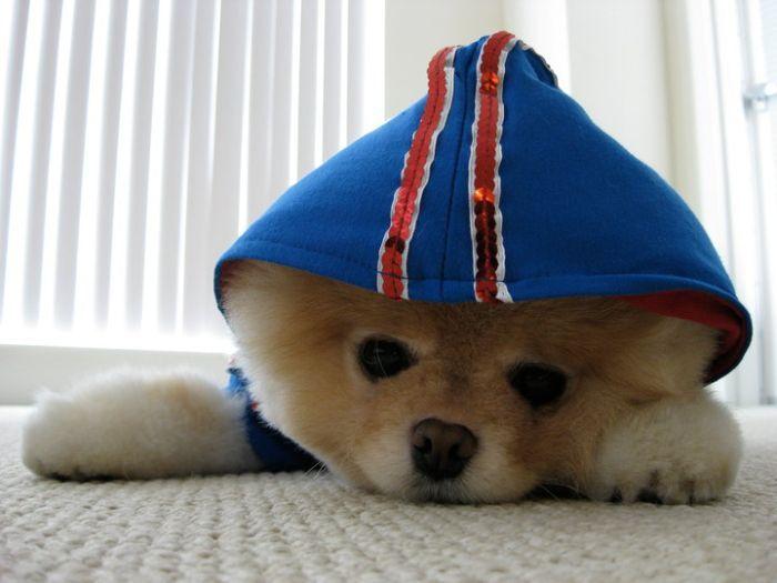 Собачка Boo – самая популярная собака