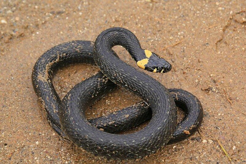 Свернувшаяся в клубок змея - уж (Natrix natrix) чёрного цвета с жёлтыми «ушками»