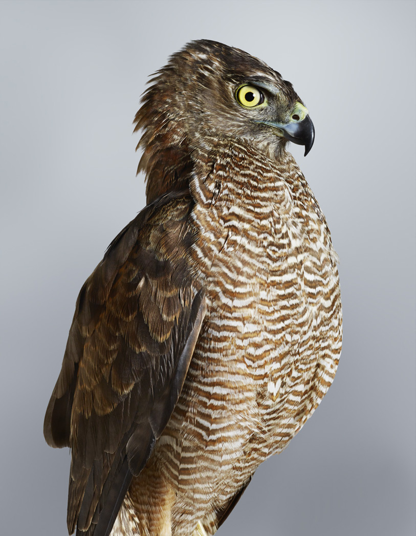 Trinity . Brown Goshawk.