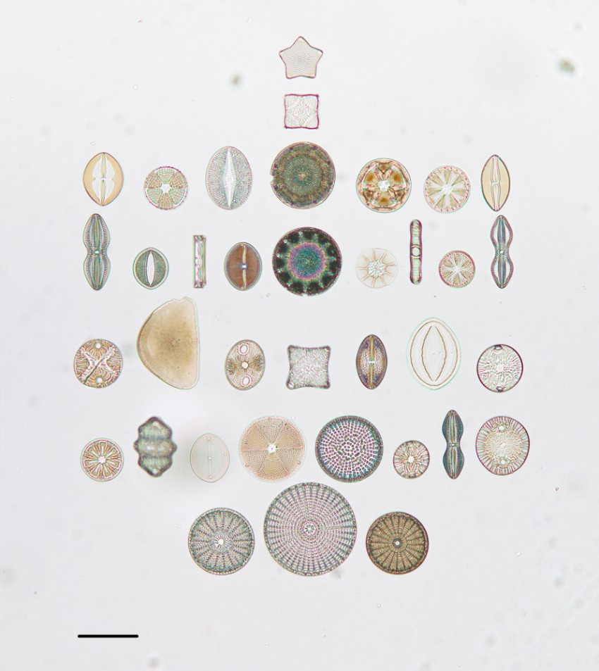 Photograph of diatoms arranged in October 1974 on a microscope slide by R.I. Firth. The slide label