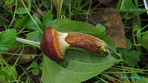 Маслёнок опоясанный (Suillus clintonianus) Автор фото: Кром Игорь