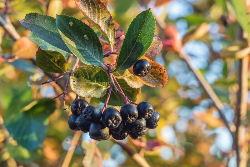 черноплодная рябина осенью