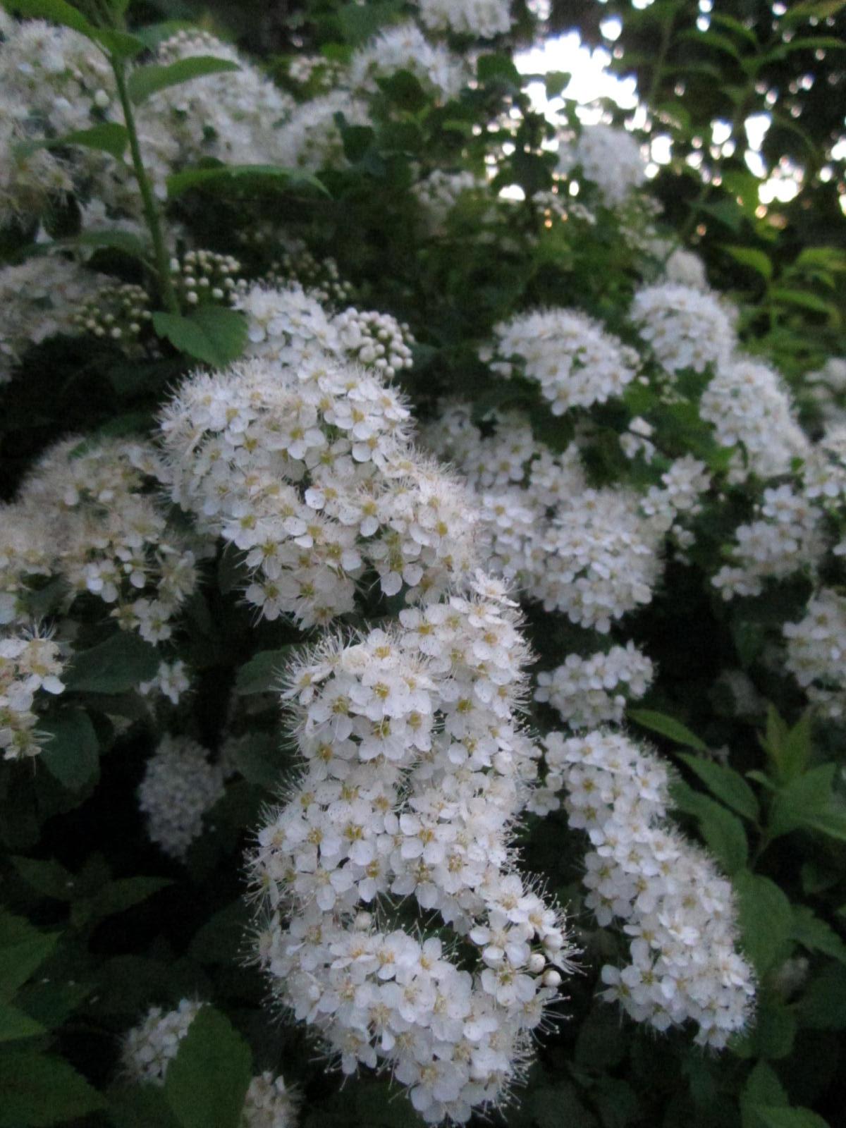 Кустарники с цветками 17