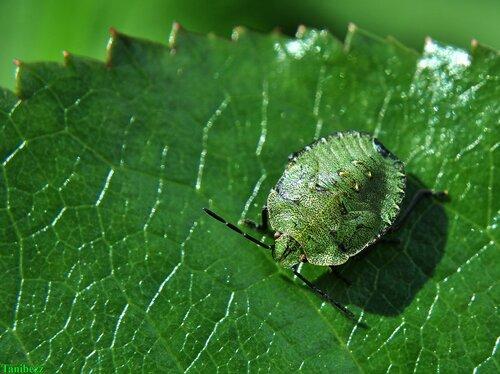 Щитник (клоп) зелёный древесный / Palomena prasina (нимфа)