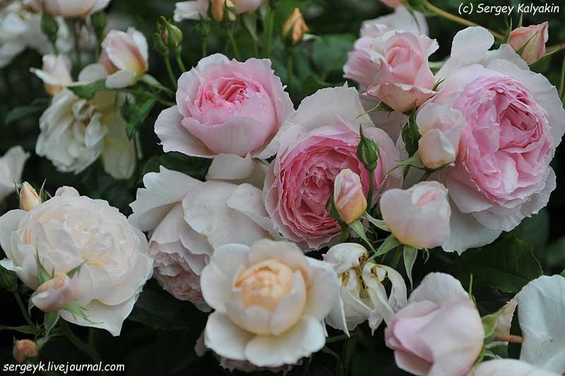 Rosa The Wedgwood Rose (13).JPG