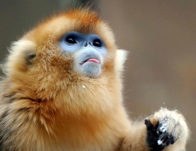 Золотые обезьянки   невероятно красивый вид обезьян со склонов вулкана Центральной Африки