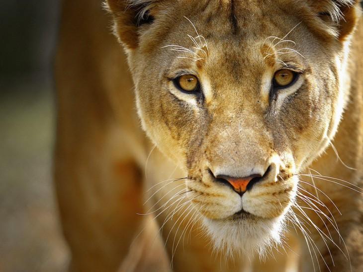 1. Львица  Большинство изнас умиляется, глядя, как львица играет сосвоими львятами. Нонемногие
