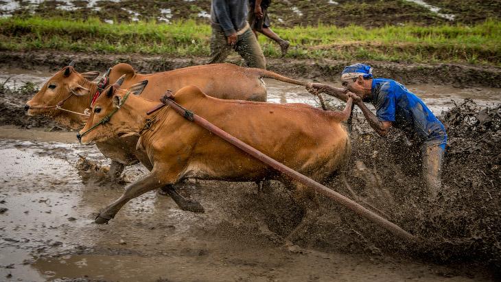 Гонки на быках в Индонезии (15 фото)