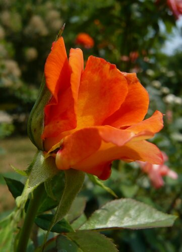 роза в букете