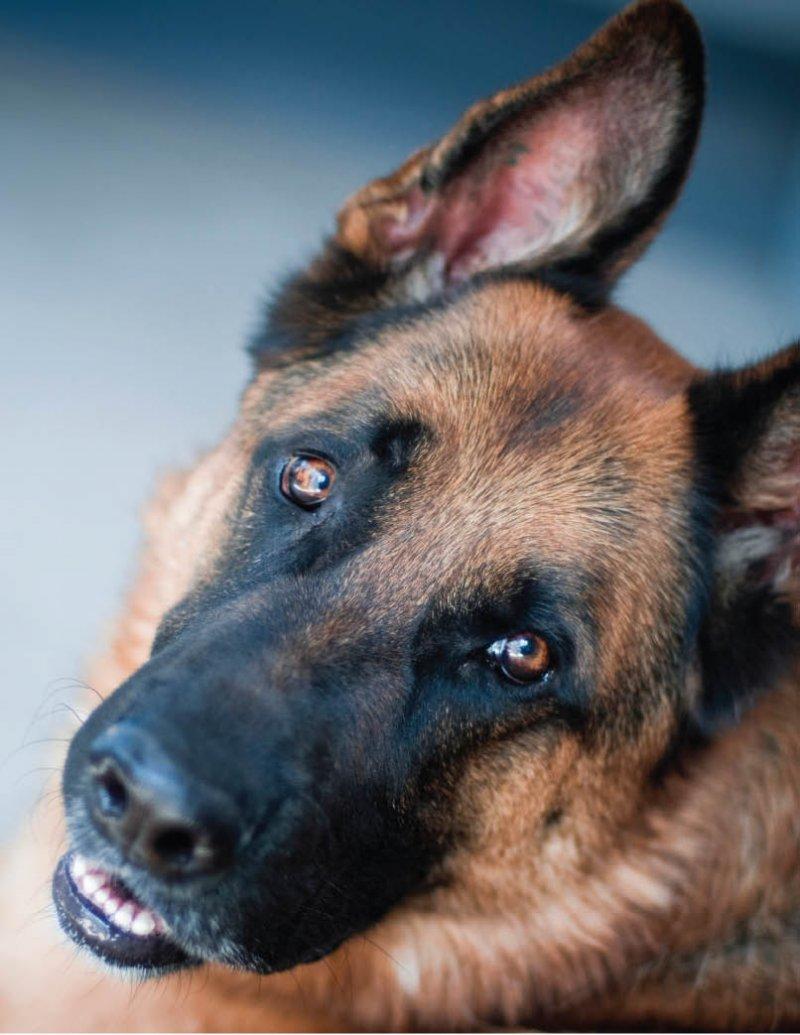 Собаки научились вынюхивать рак