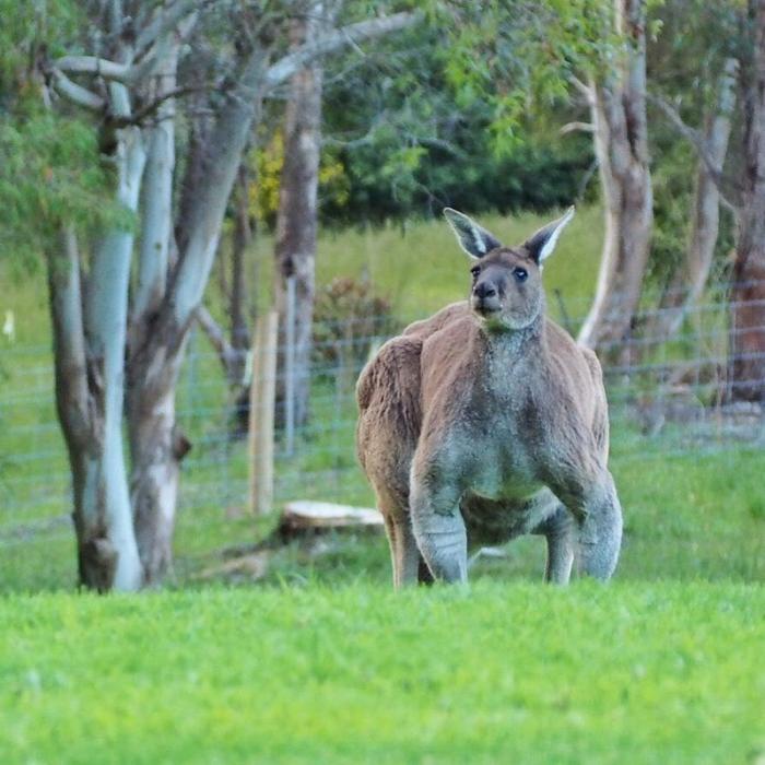 Суровый кенгуру