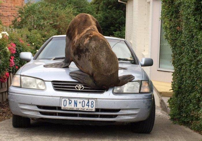 Когда тюленю тоже понравился твой автомобиль