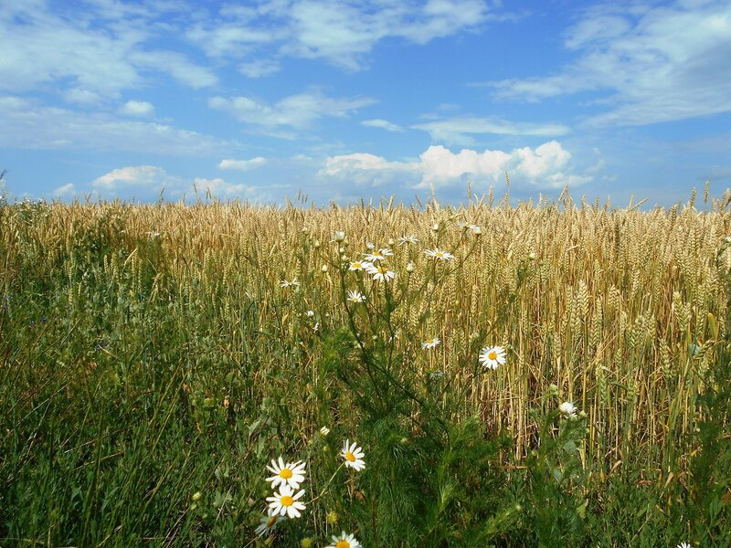 Ромашки у поля пшеничного ... DSCN2621.JPG