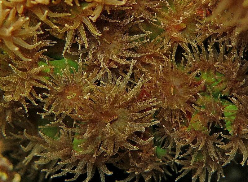 Тубастрея зеленая (Tubastraea micranthus)