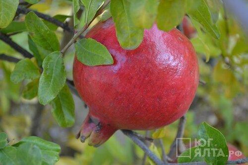 «Массандра» возродила выращивание экзотических фруктов