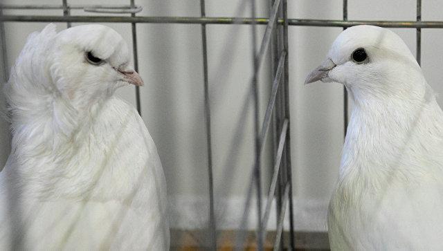 В Российскую Федерацию запретили въехать 80 голубям изЛитвы