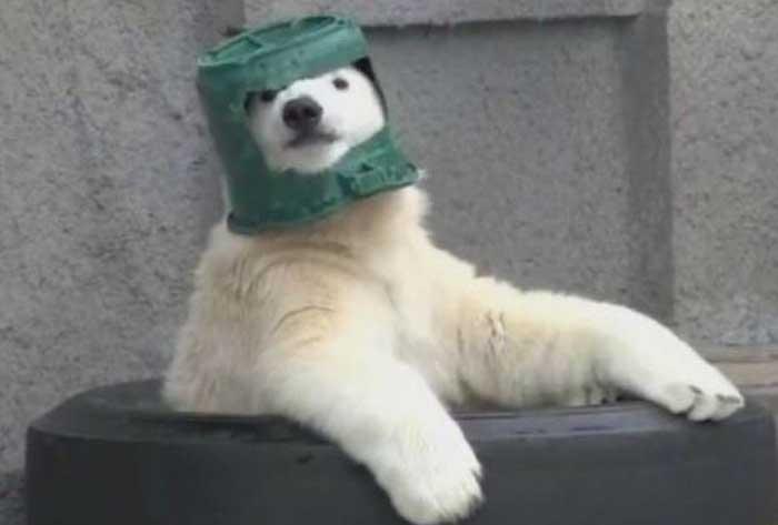 Белый медведь нашел себе игрушку