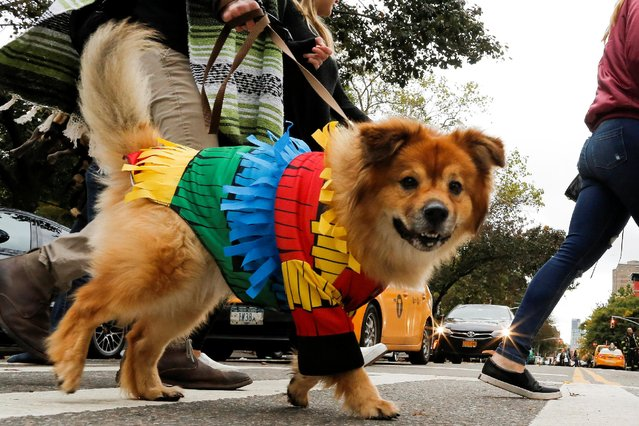 A dog dressed as a pinata takes part in the annual halloween dog parade at Manhattan's Tompkins