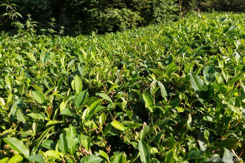 Чайная плантация, Солохаул, усадьба Кошмана, краснодарский чай