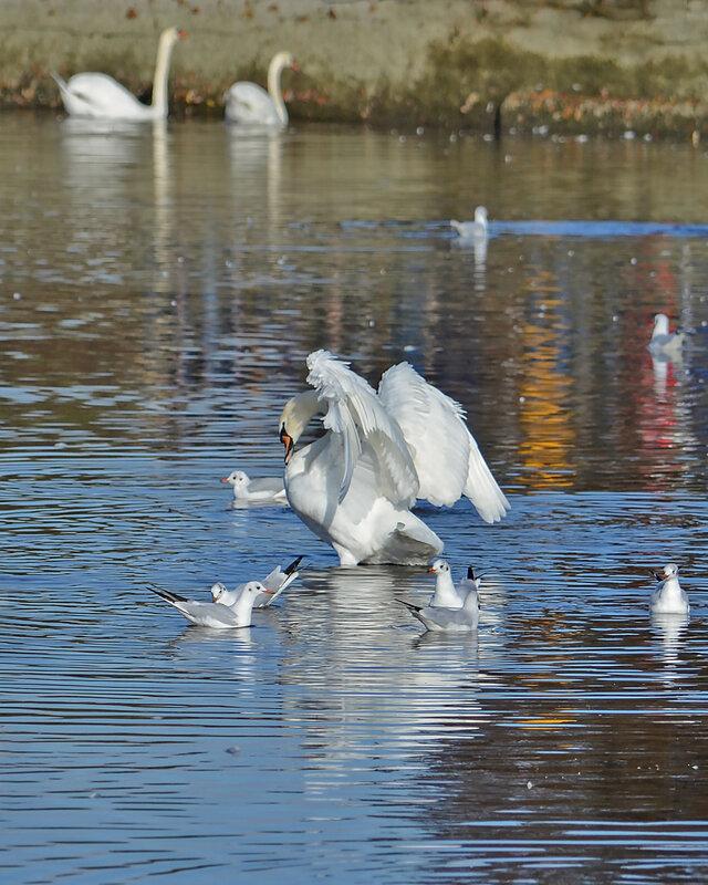 А белый лебедь на пруду...